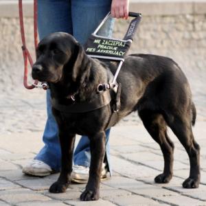 Na chodniku stoi pies przewodnik. Kobieta trzyma go za sztywny uchwyt. Na uchwycie znajduje się napis: Nie zaczepiaj, pracuję, pies asystujący.
