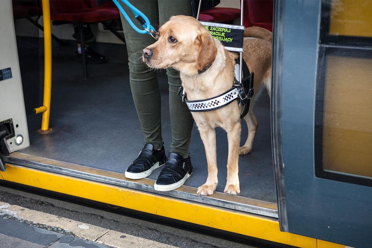 W tramwaju przy otwartych drzwiach stoi kobieta z psem przewodnikiem. Przygotowują się do wyjścia.