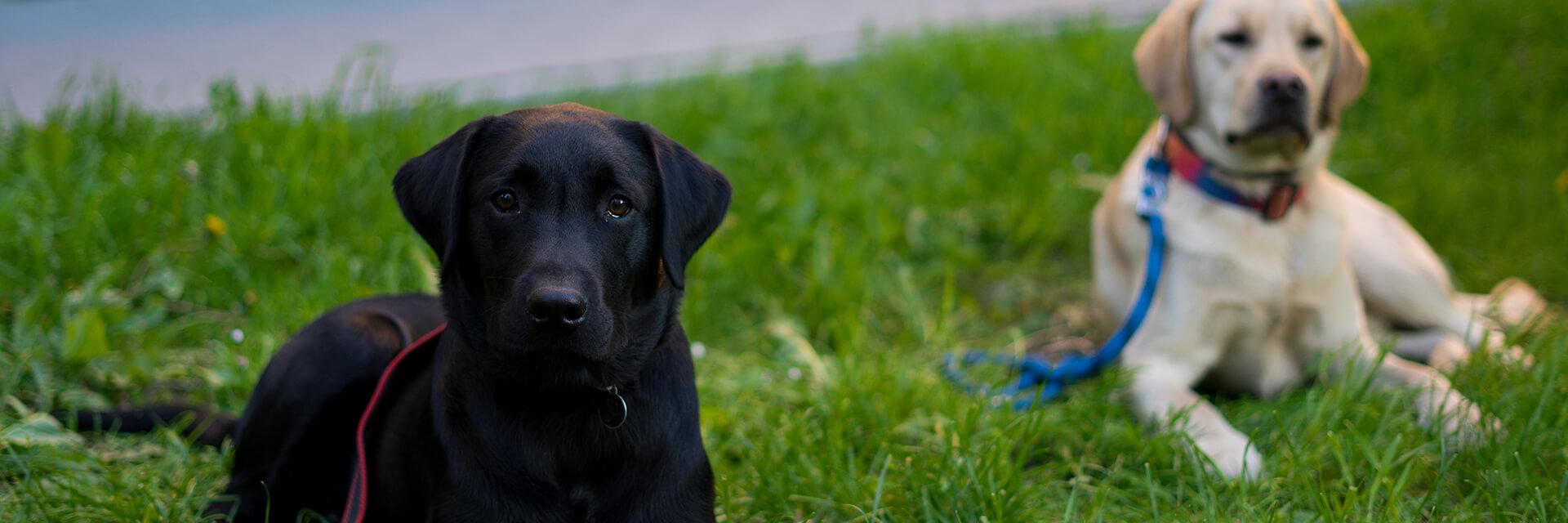 Na trawie leżą dwa młode labradory, z przodu czarny, z tyłu biszkoptowy